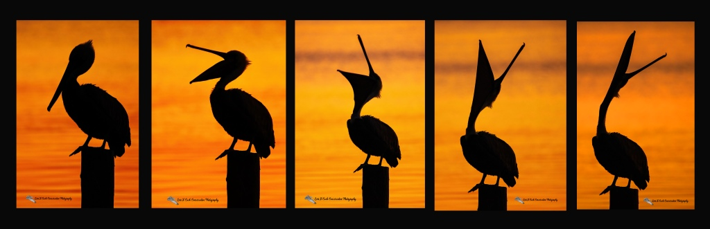 A series of images in a collage that shows the brown pelican in silhouette against the colorful sunrise as the brown pelican exhibits the head throw or bill throw behavior that was photographed in Mill Creek at Phoebus Waterfront Park in Hampton, Virginia.