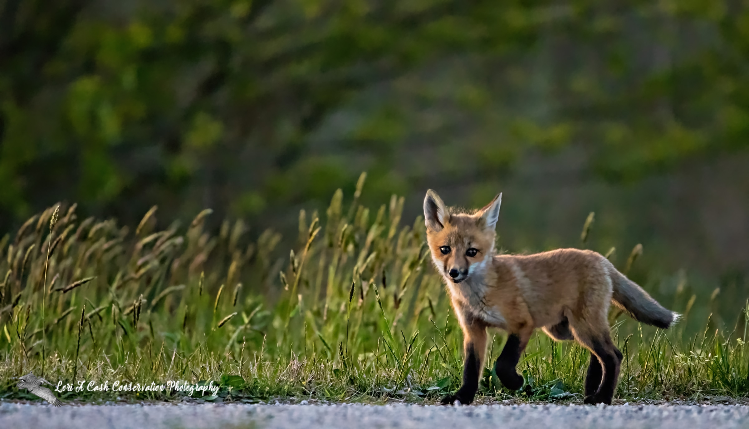 Red fox pup walking along the edge of grass near its den in the late evening at Hampton, Virginia.