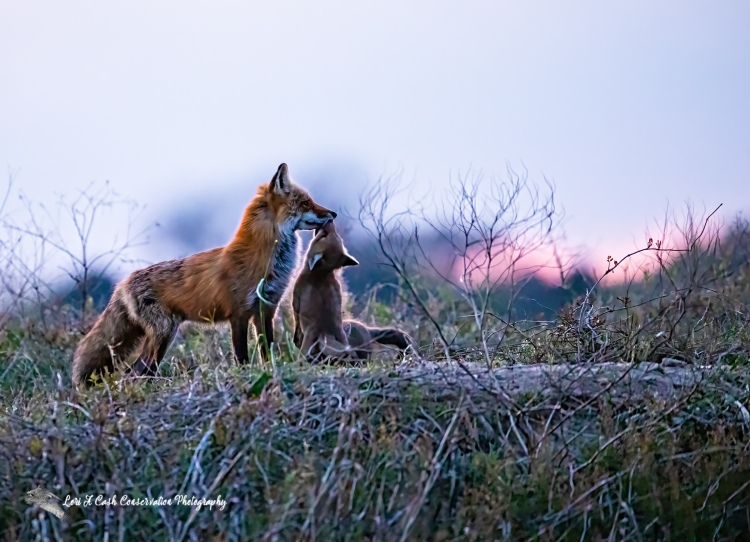 Red fox vixen and pup nose to nose at sunset in Hampton, Virginia.