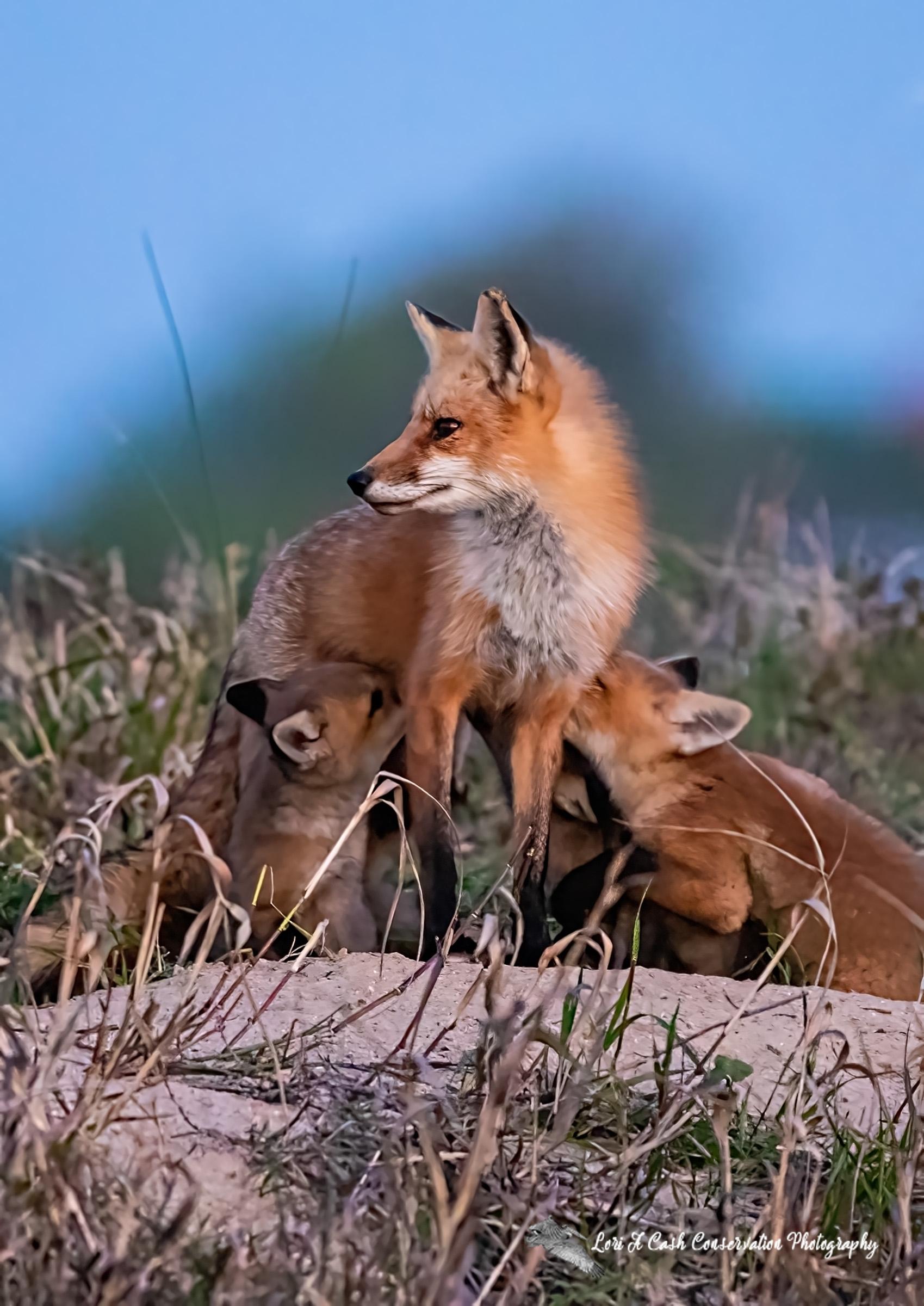 Red fox (Vulpes vulpes) vixen nursing pups at dawn in the spring in Hampton, Virginia.