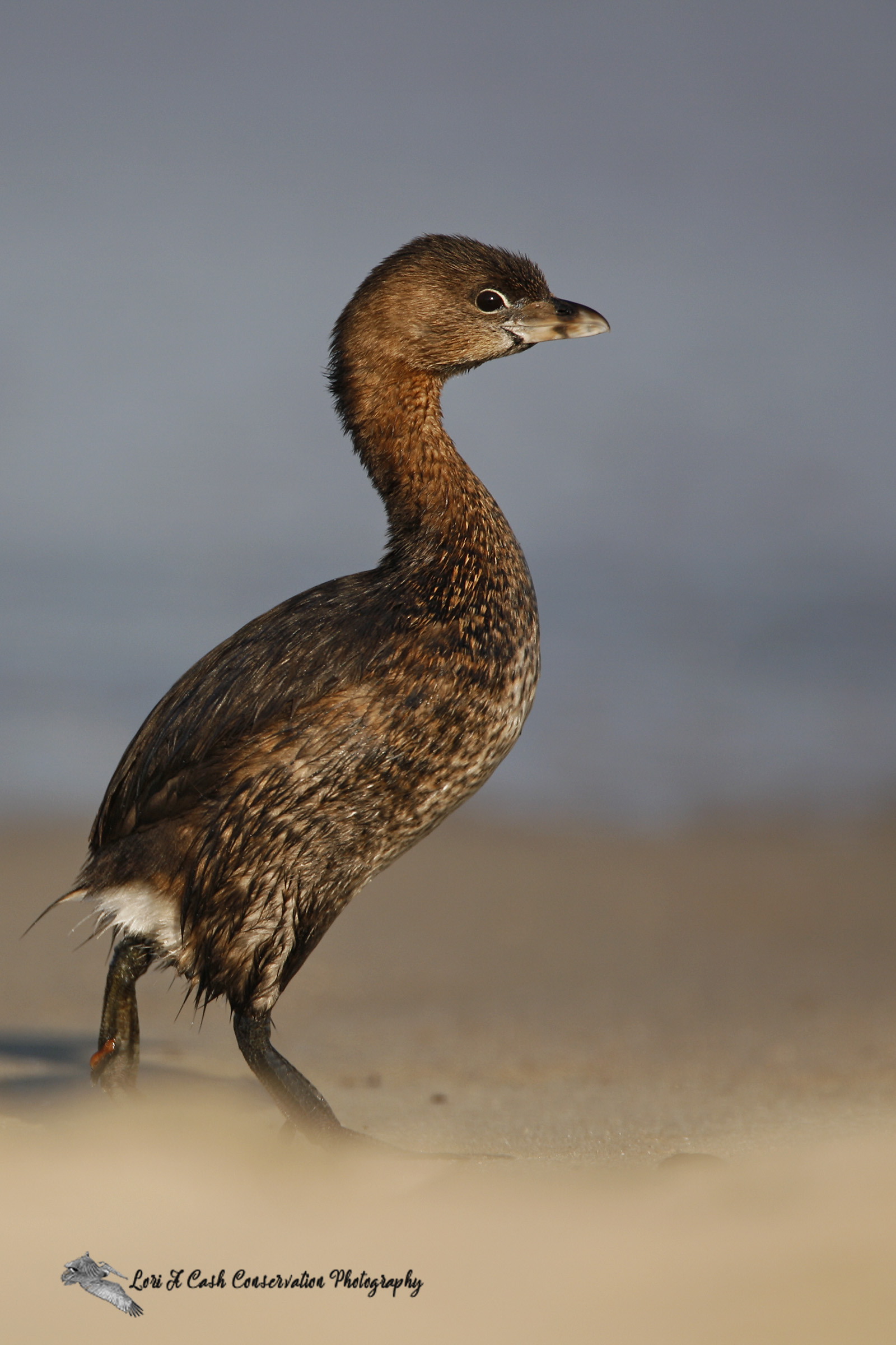 Pied-billed grebe (Podilymbus podiceps) standing on the beach as it begins to walk along the beach on an late spring afternoon in Nags Head on the Outer Banks of North Carolina.