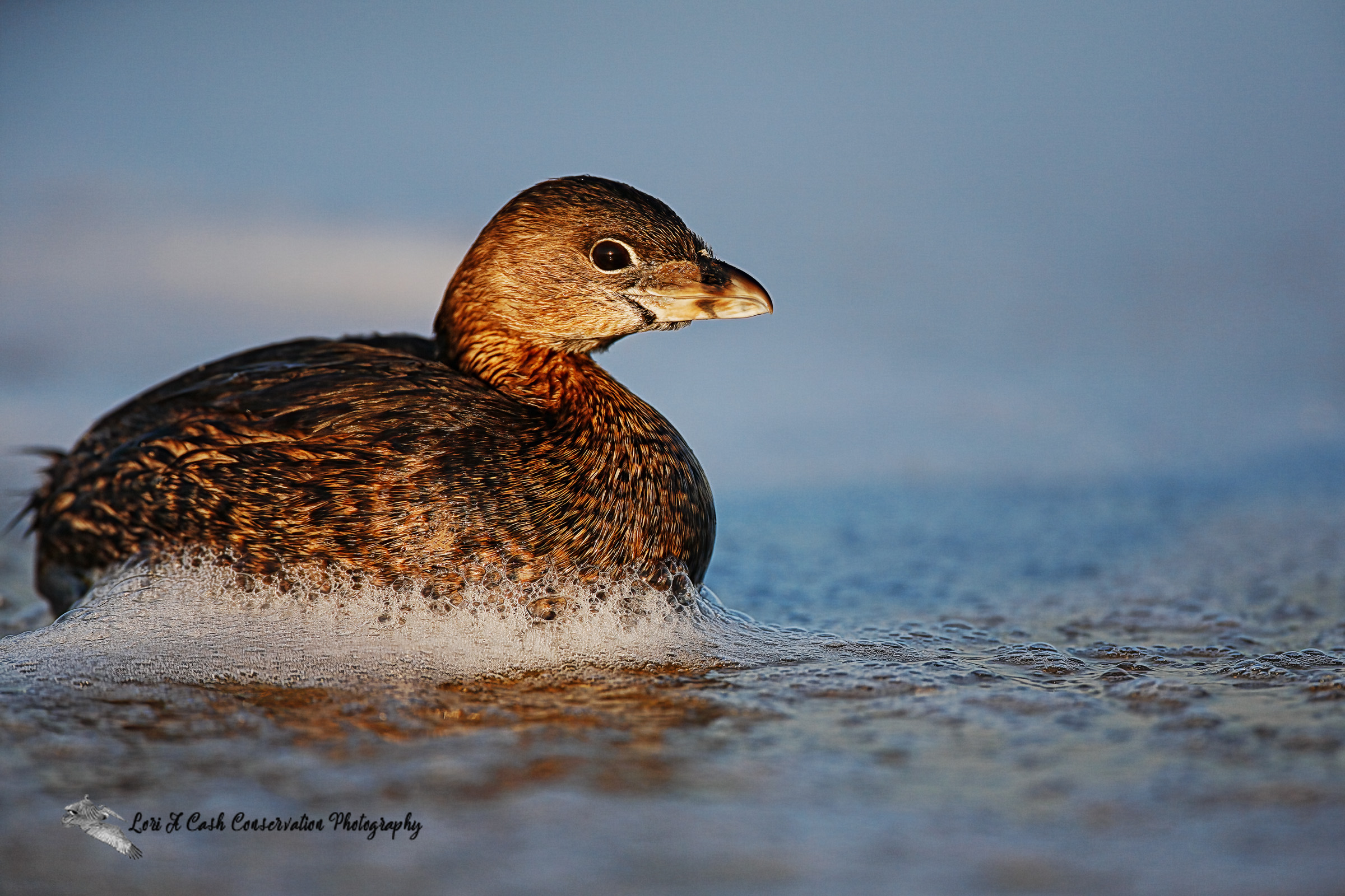 Pied-billed grebe (Podilymbus podiceps) swimming in the surf in the late afternoon at the beach in Nags Head on the Outer Banks of North Carolina.